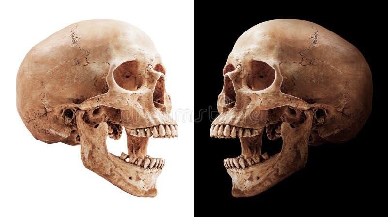 Menselijke geïsoleerdeh schedel stock fotografie
