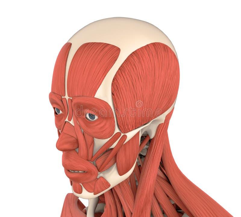 Menselijke Gezichtsspierenanatomie royalty-vrije illustratie
