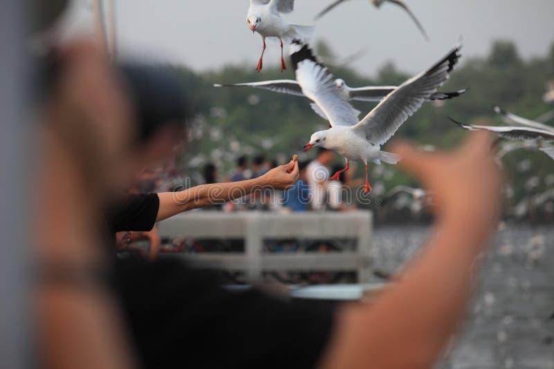 Menselijke hand die de vogel voedt Menselijke hand die de vogel voedt Het voedsel van de handholding voor zeemeeuwen een vogel stock foto's
