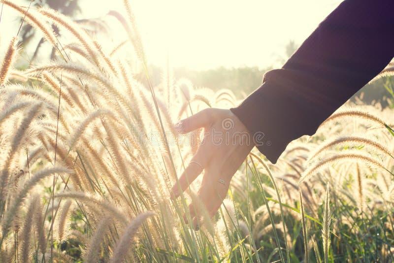 Menselijke hand wat betreft grasbloem met gouden zonlicht in mor stock foto