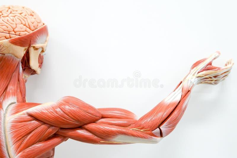 Menselijke handenspier stock afbeelding