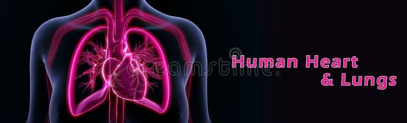 menselijke hart en longen royalty-vrije illustratie