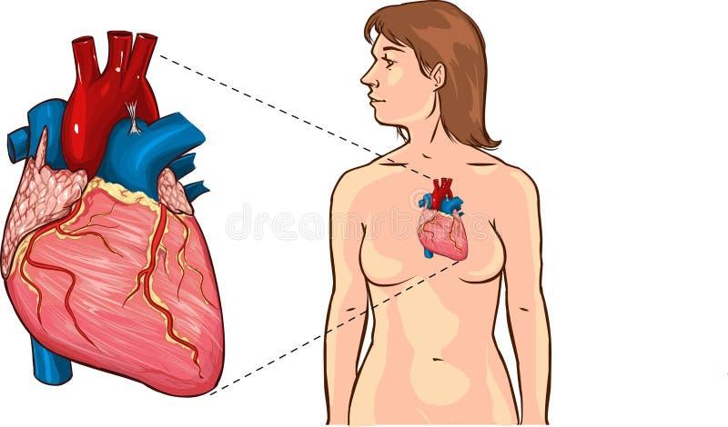 Menselijke hart gedetailleerde vector Anatomische vectorillustratie van een menselijk hart Menselijke hart gedetailleerde vector  stock illustratie