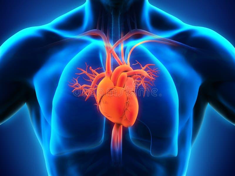 Menselijke hartanatomie stock illustratie
