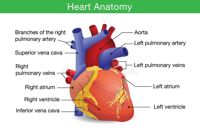 Menselijke hartanatomie royalty-vrije illustratie
