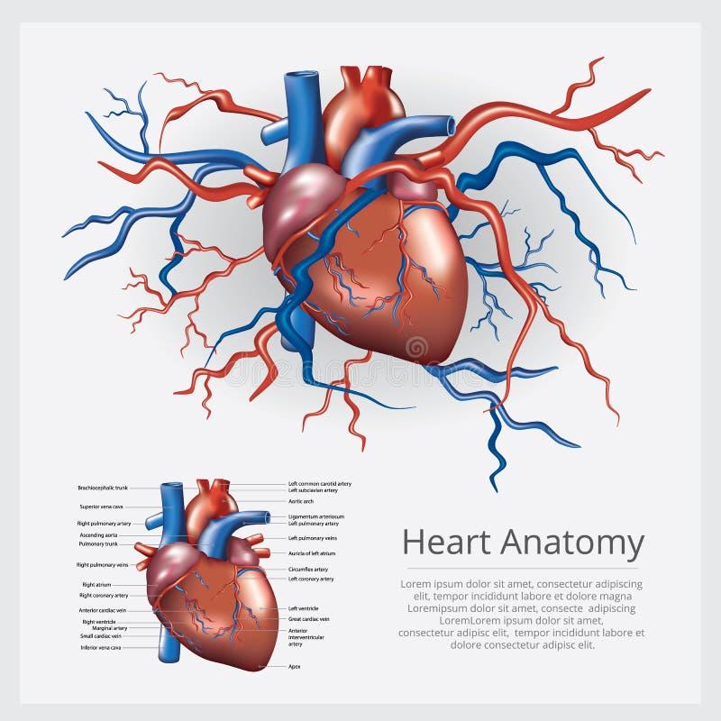 Menselijke hartanatomie vector illustratie