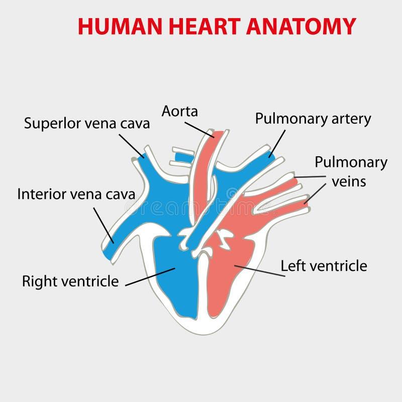 Menselijke hartanatomie op zwarte Een deel van het menselijke hart Anatomie van menselijke hartillustratie stock illustratie