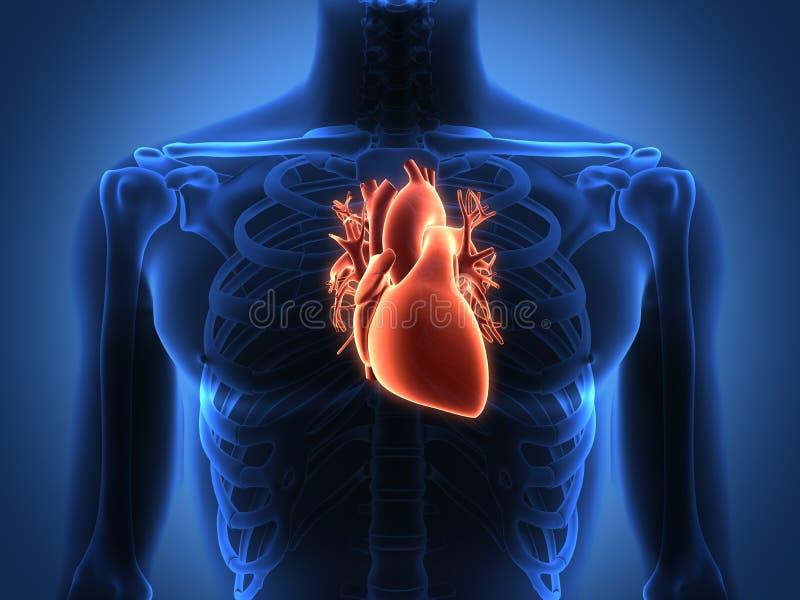 Menselijke hartanatomie van een gezond lichaam royalty-vrije illustratie
