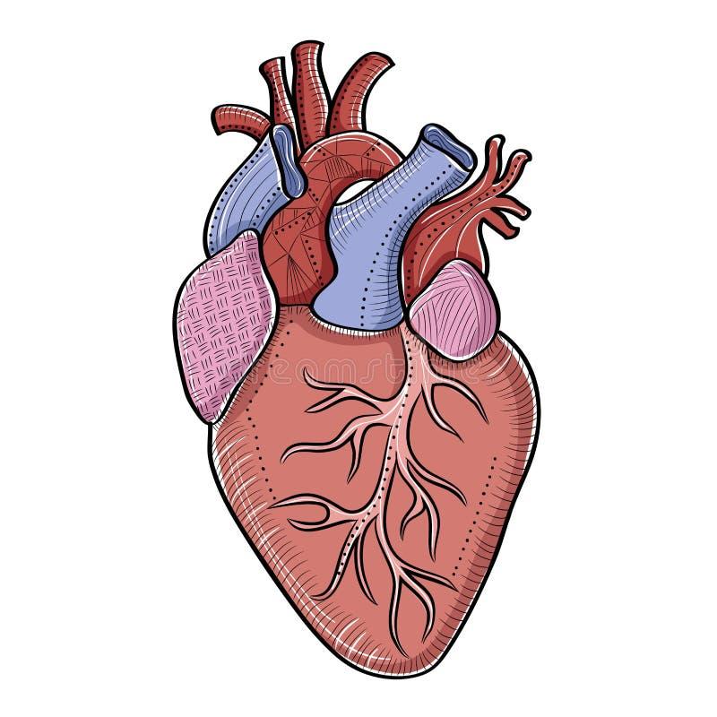 Menselijke hartillustratie op wit vector illustratie