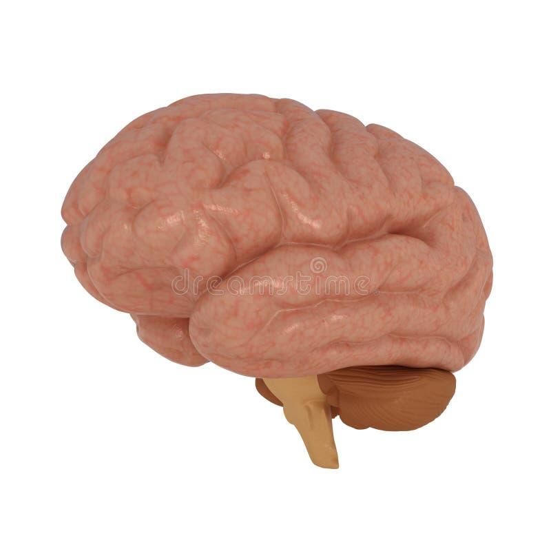 Menselijke Hersenen die op wit worden geïsoleerdr vector illustratie