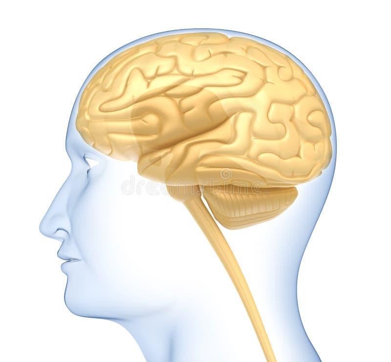 Menselijke hersenen in het hoofd. Zijaanzicht vector illustratie
