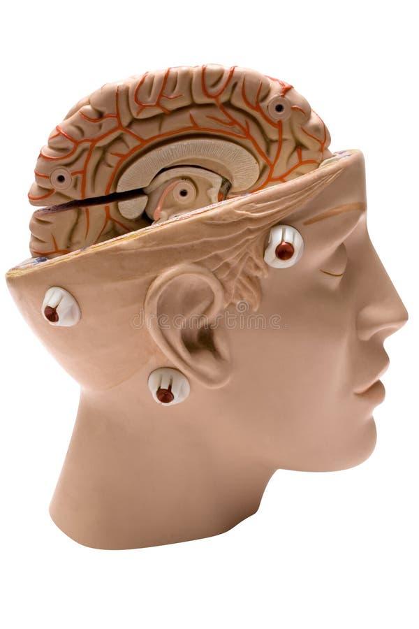 Menselijke Hersenen (Zijaanzicht) royalty-vrije stock afbeelding