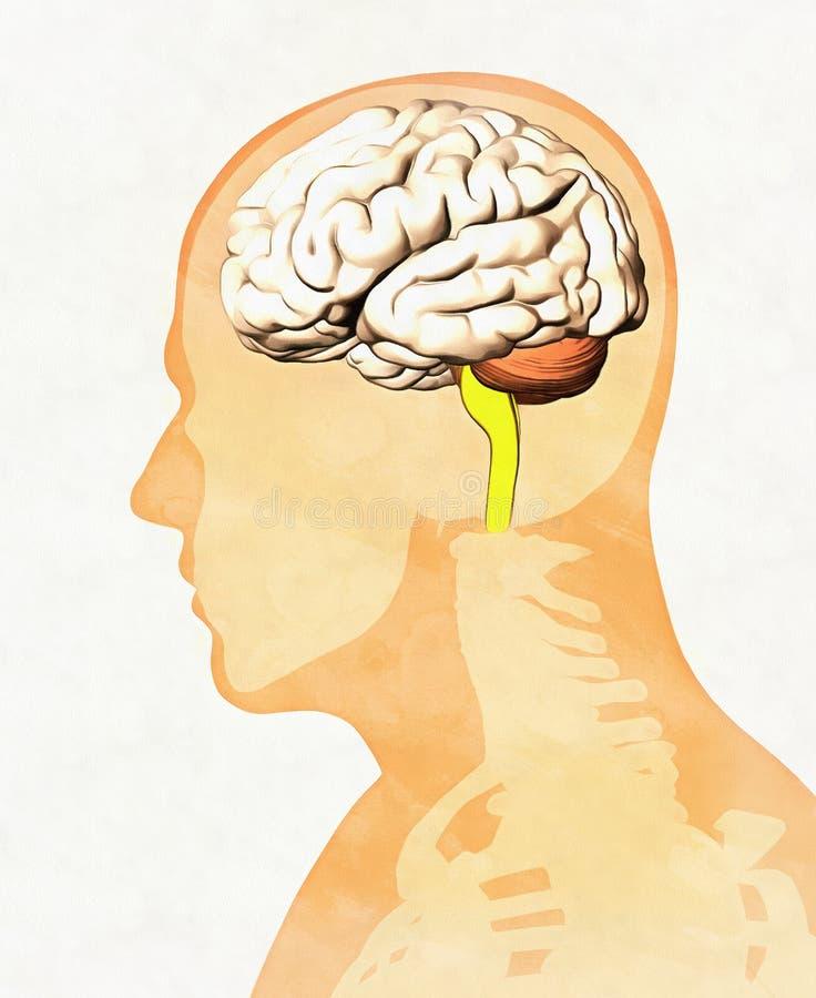 Menselijke Hersenen - Zijaanzicht voor Medisch en Onderwijsgebruik royalty-vrije illustratie