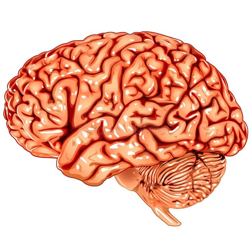Menselijke hersenen zijmening stock illustratie