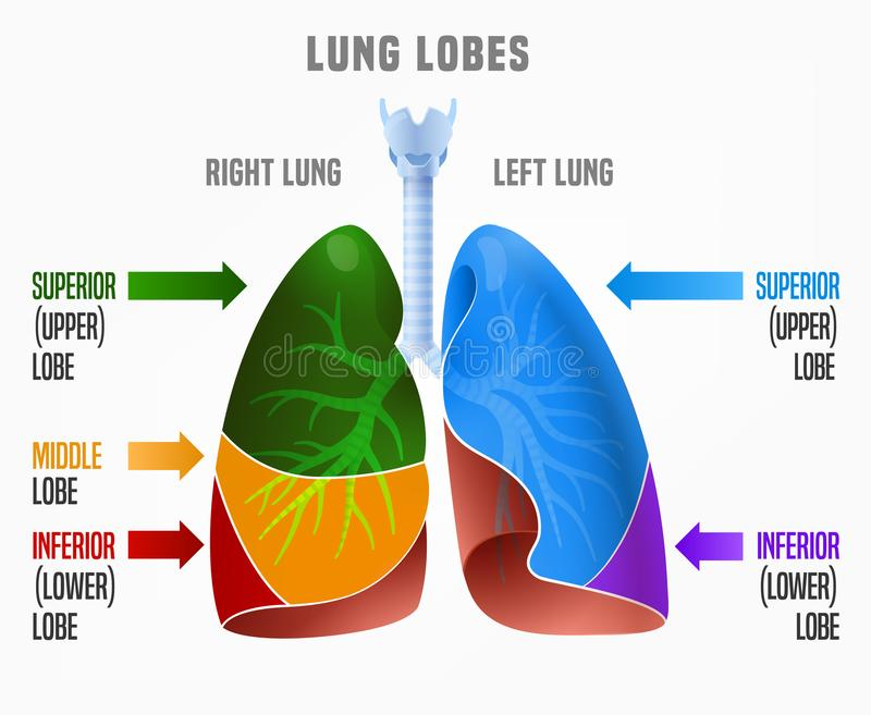 Menselijke infographic longen stock illustratie