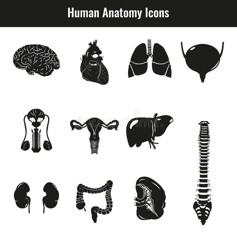 Menselijke interne organen Anatomiereeks Vector vector illustratie
