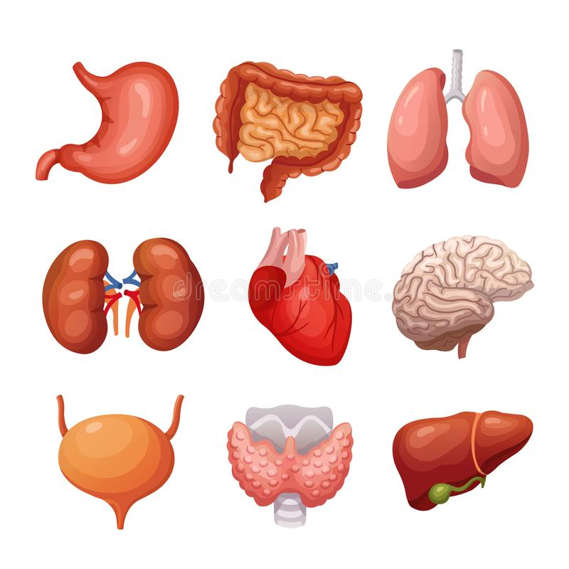 Menselijke interne organen Maag en longen, nieren en hart, hersenen en lever Reeks van de lichaamsdelen de vectoranatomie stock illustratie