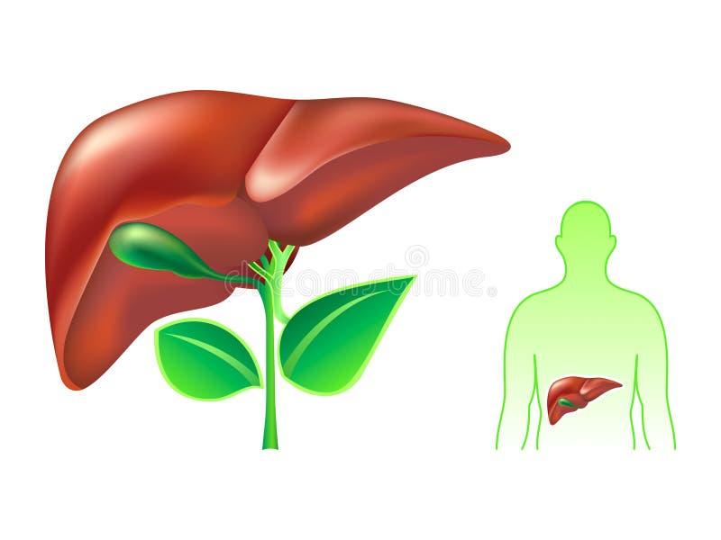 Download Menselijke lever vector illustratie. Afbeelding bestaande uit geneeskunde - 9868322
