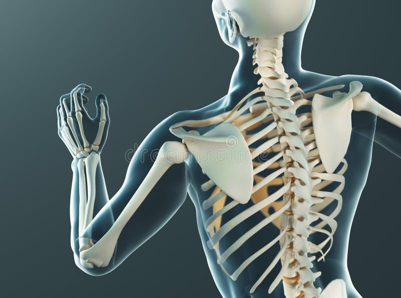 Menselijke lichaamsdelen, het x ray, 3d teruggeven royalty-vrije illustratie