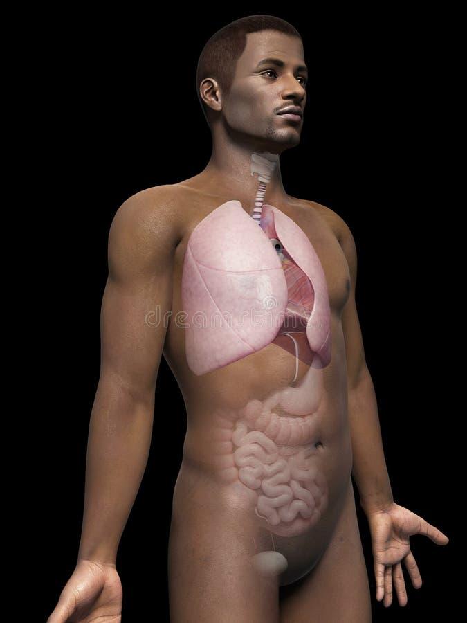 Menselijke long vector illustratie