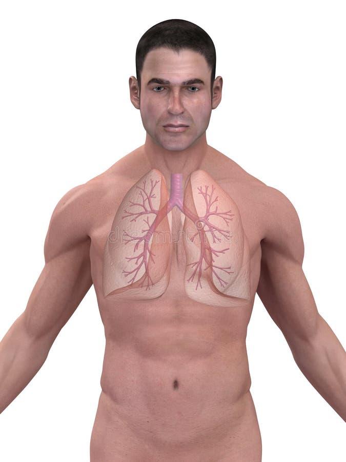 Menselijke long en bronchiën stock illustratie