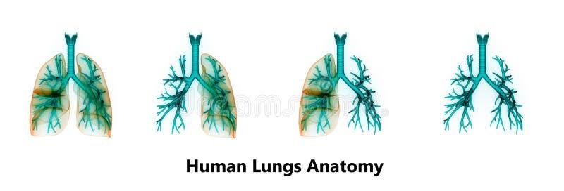 Menselijke Longen binnen Anatomie royalty-vrije illustratie