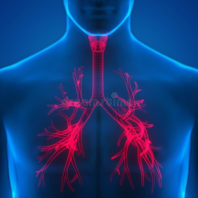 Menselijke Longen binnen Anatomie (Strottehoofd, Trachee, Longpijptakjes) stock illustratie