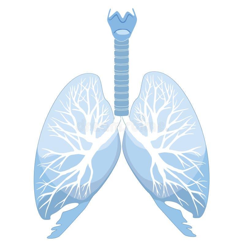 Menselijke longen die over witte achtergrond worden geïsoleerdn royalty-vrije illustratie