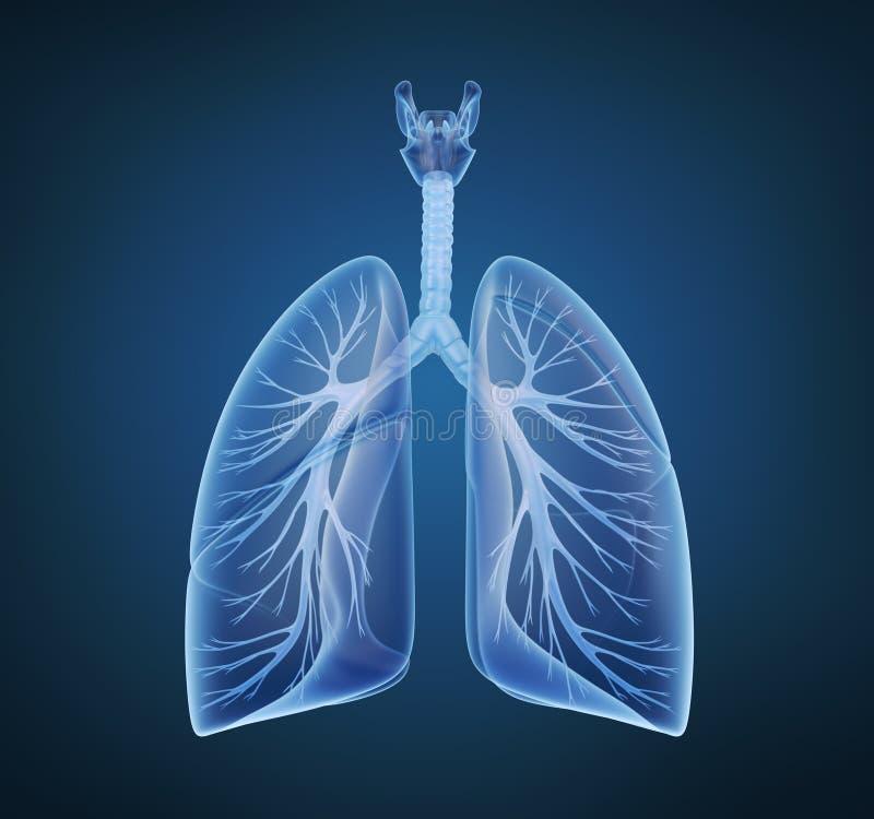 Menselijke longen en bronchiën royalty-vrije illustratie