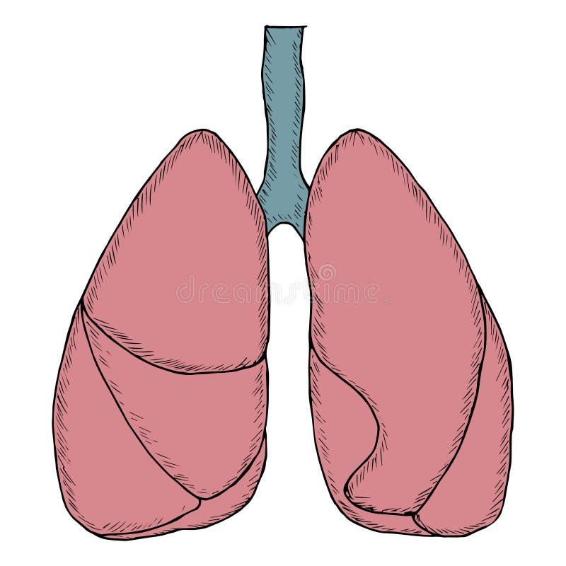 Menselijke longen, schets in kleur vector illustratie