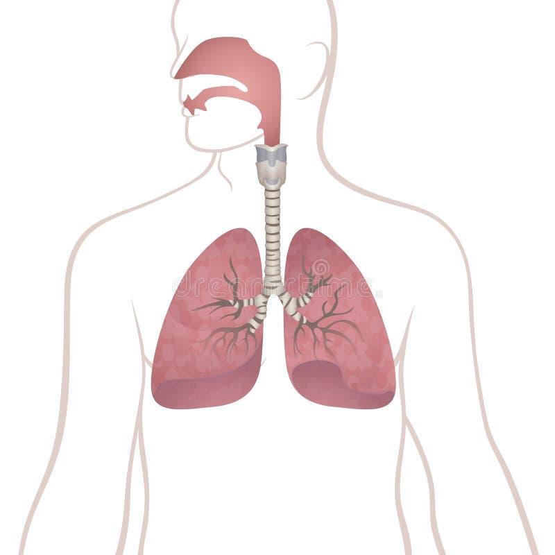 Menselijke longen, trachee en nasopharynx vector illustratie
