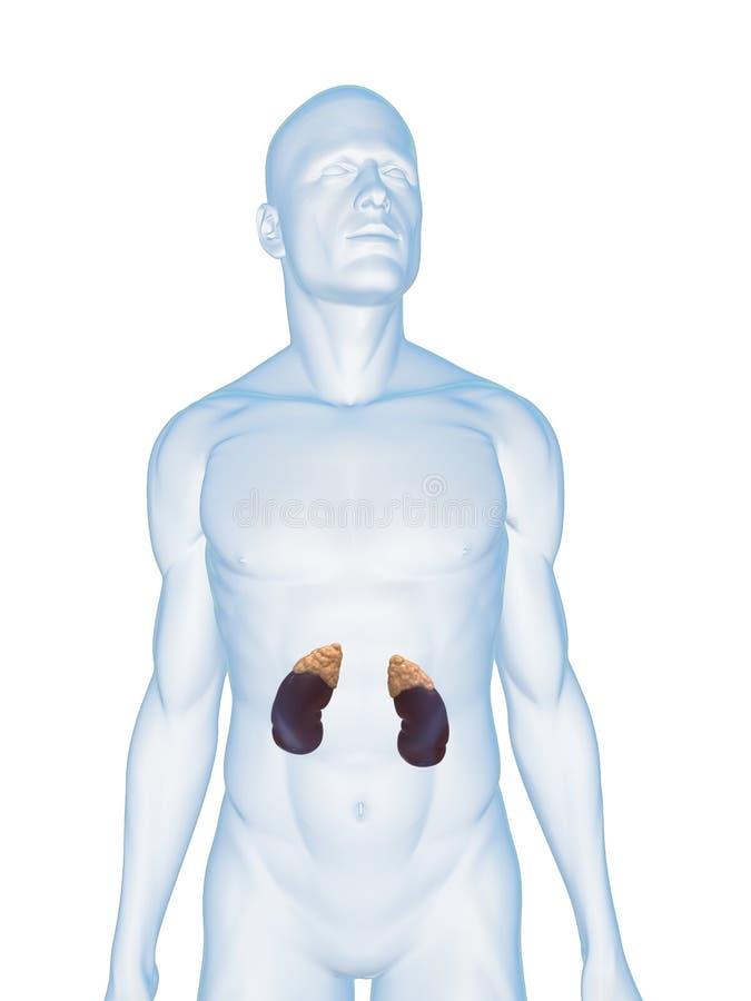Menselijke nier en bijnieren stock illustratie
