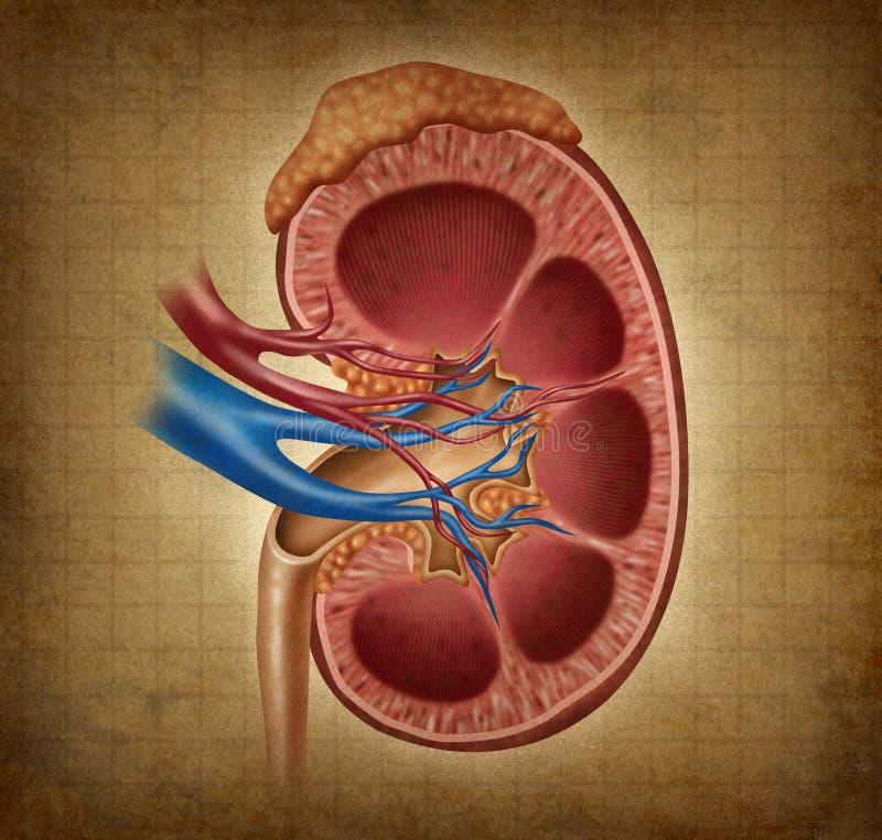 Menselijke Nier met Textuur Grunge royalty-vrije illustratie