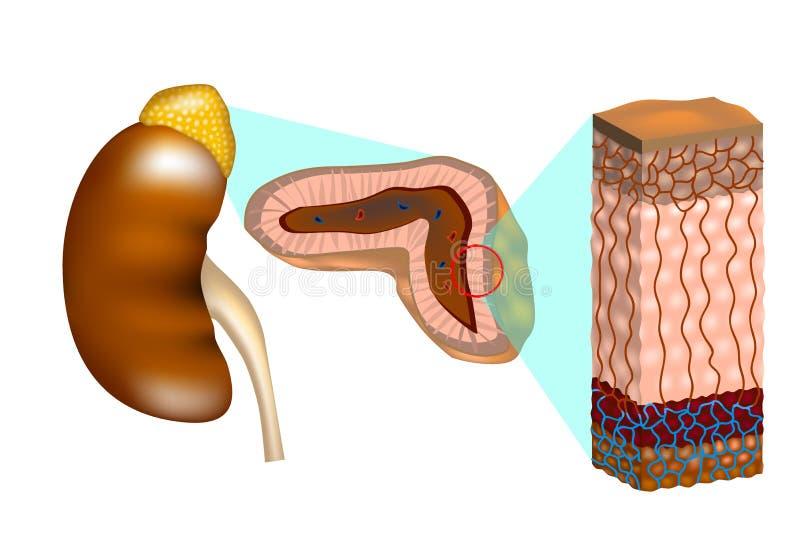 Menselijke nieren met een dwarsdoorsnede van de bijnier royalty-vrije illustratie