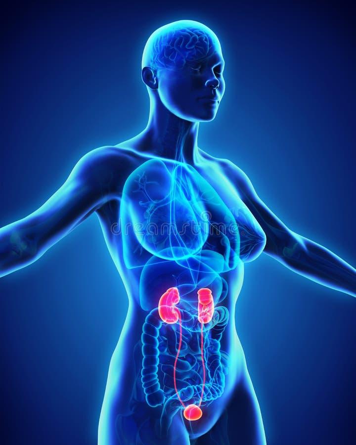 Menselijke Nierenanatomie vector illustratie