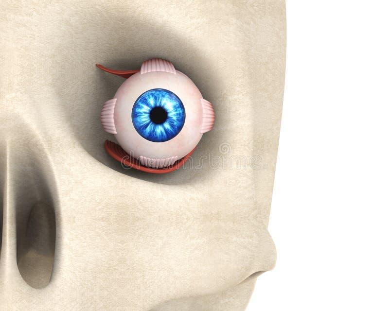 Menselijke Oog Extraocular Spieren vector illustratie