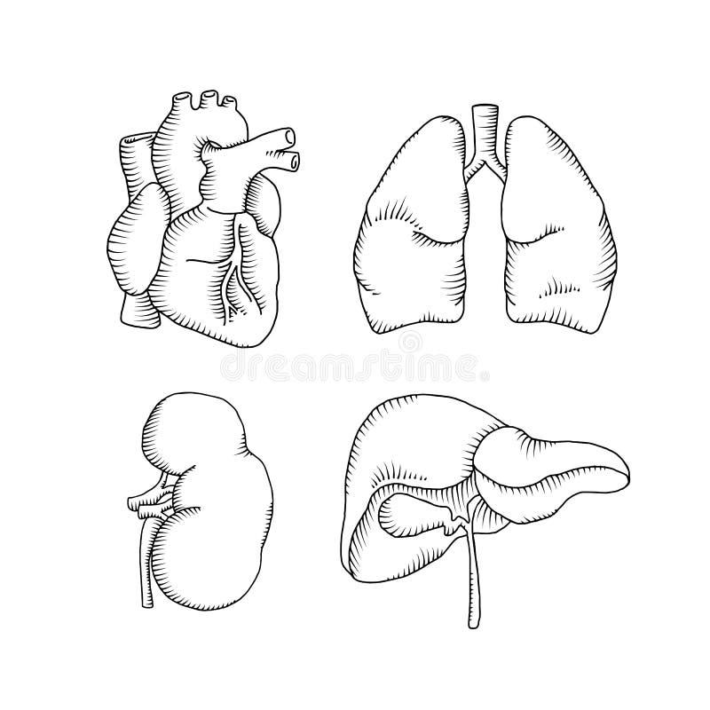 Menselijke Organen Hart, Lever, Nieren, Longen Vector Illustratie ...