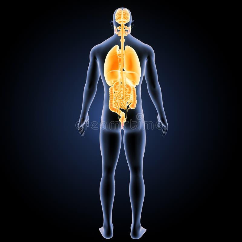 Menselijke organen met lichaams latere mening vector illustratie