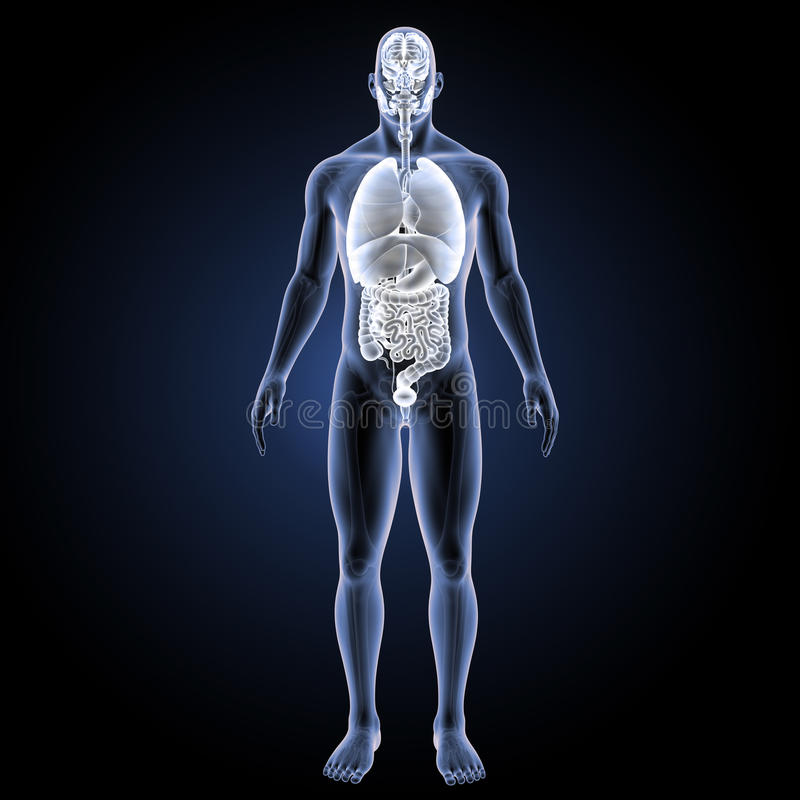 Menselijke organen met skelet voorafgaande mening royalty-vrije illustratie