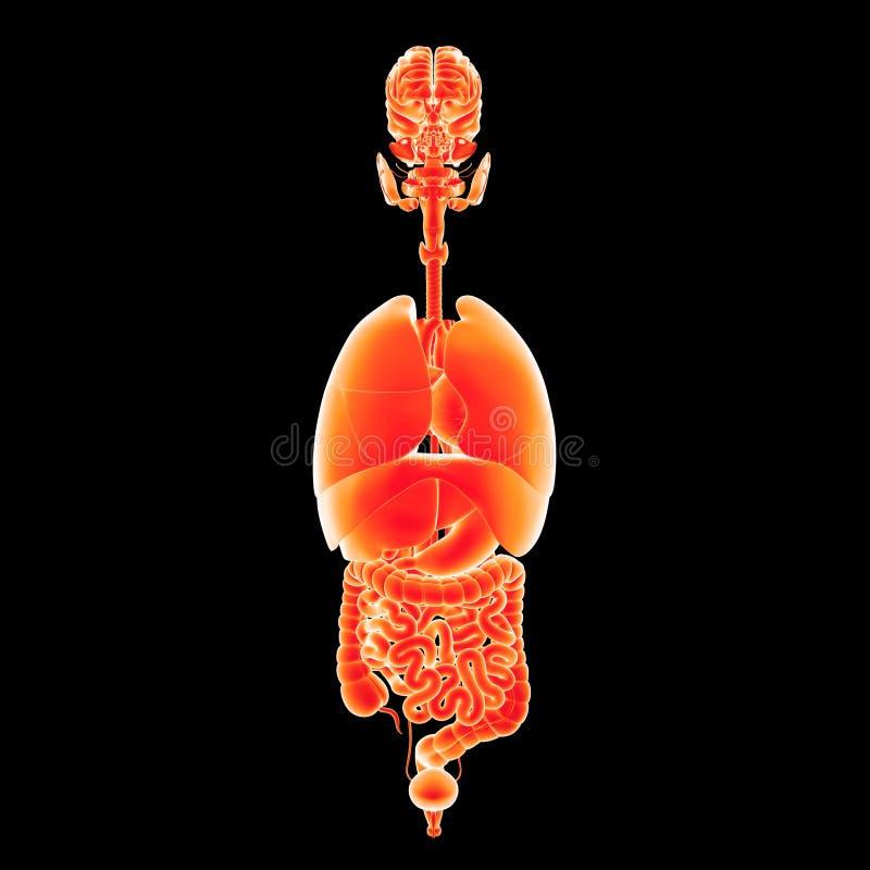 Menselijke organen voorafgaande mening stock illustratie