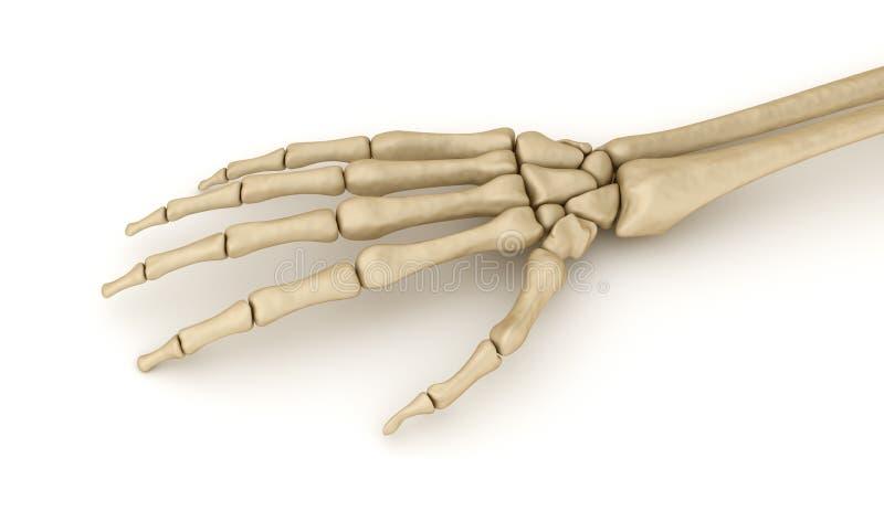 Menselijke pols skeletachtige anatomie vector illustratie