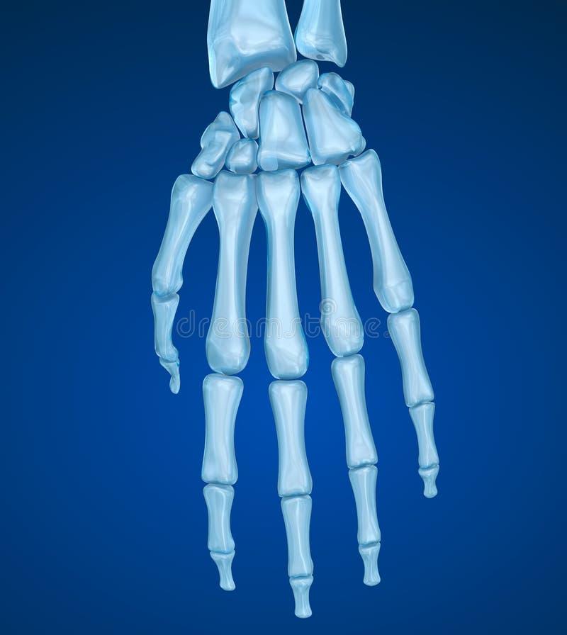 Menselijke polsanatomie Medisch nauwkeurige illustratie royalty-vrije illustratie