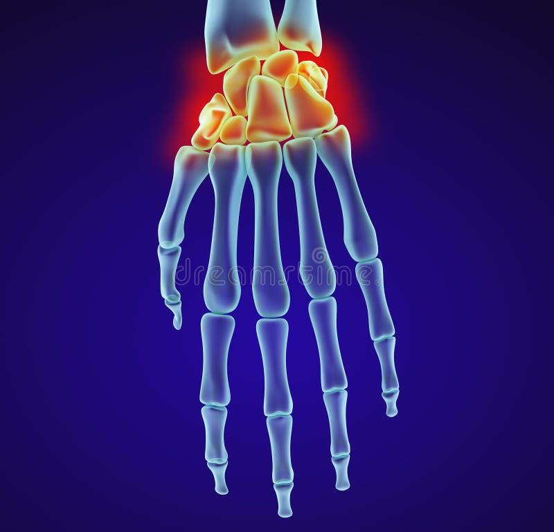 Menselijke polsanatomie Röntgenstraalmening Medisch nauwkeurige illustratie vector illustratie