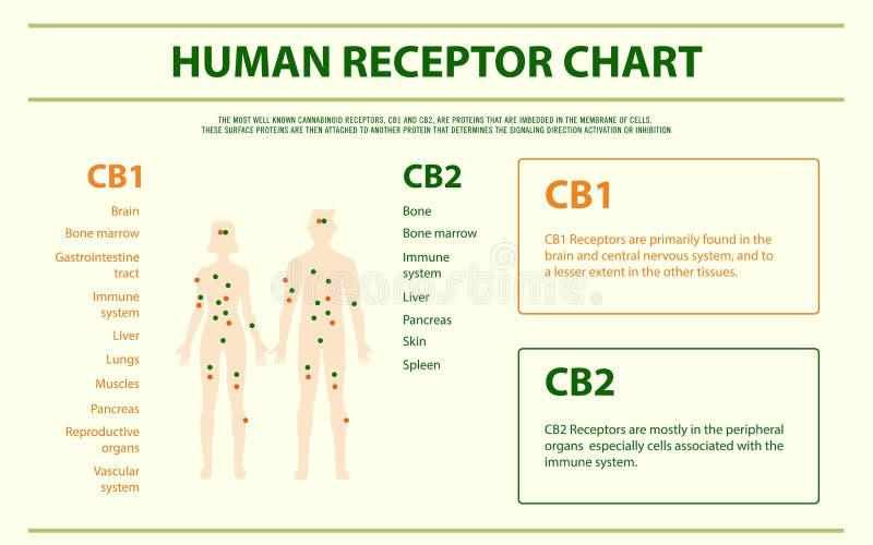 Menselijke receptorchart horizontale infographic royalty-vrije illustratie