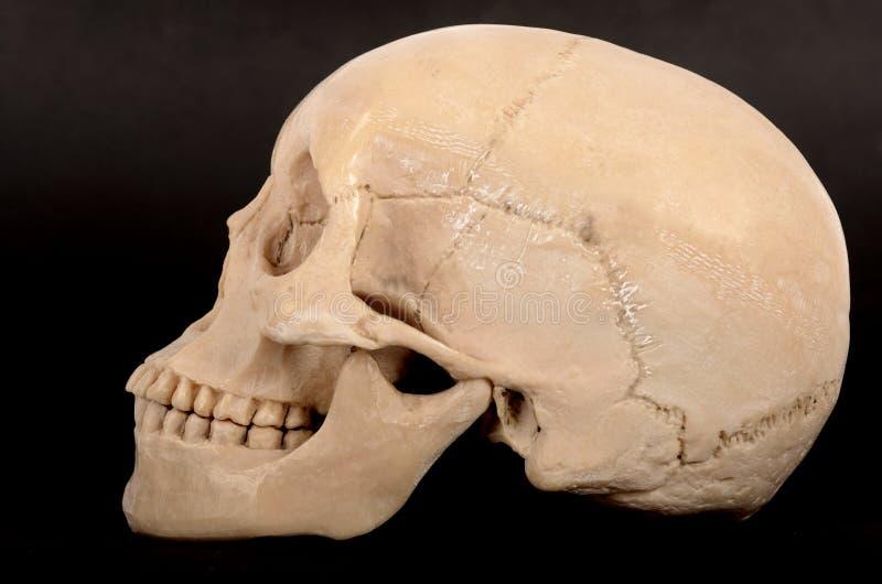 Menselijke schedel juiste mening royalty-vrije stock fotografie
