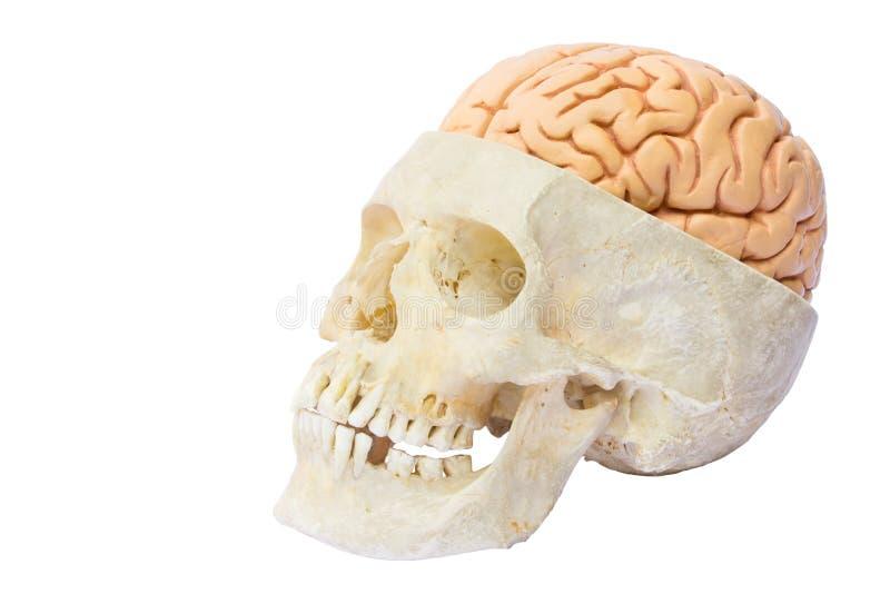 Menselijke schedel met hersenen stock afbeeldingen