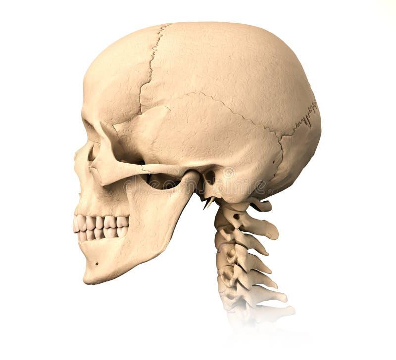 Menselijke schedel, zijaanzicht. stock illustratie