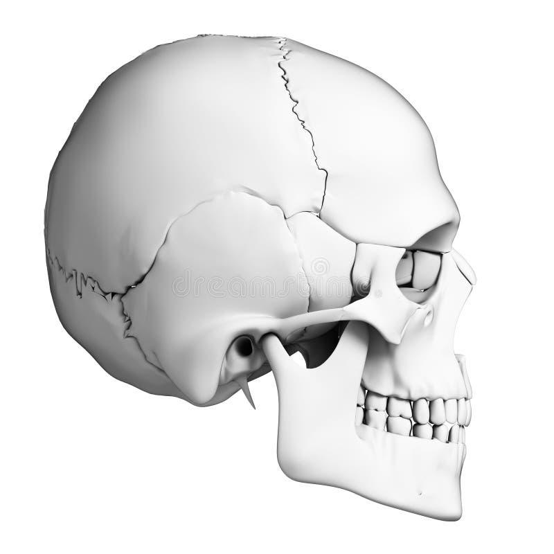 Menselijke schedelanatomie stock illustratie