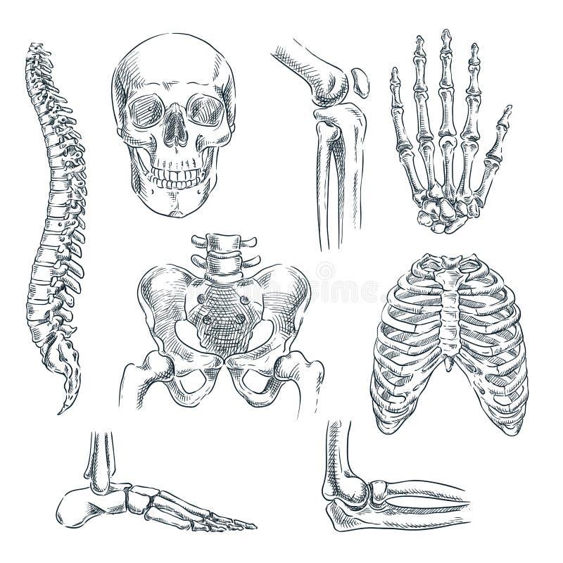 Menselijke skelet, beenderen en verbindingen Vectorschets geïsoleerde illustratie De hand getrokken geplaatste symbolen van de kr vector illustratie