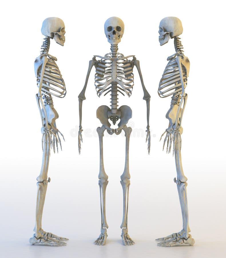 Menselijke skeletreeks 3D Illustratie stock illustratie